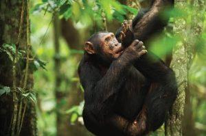 Rwanda Chimpanzee Safari Nyungwe