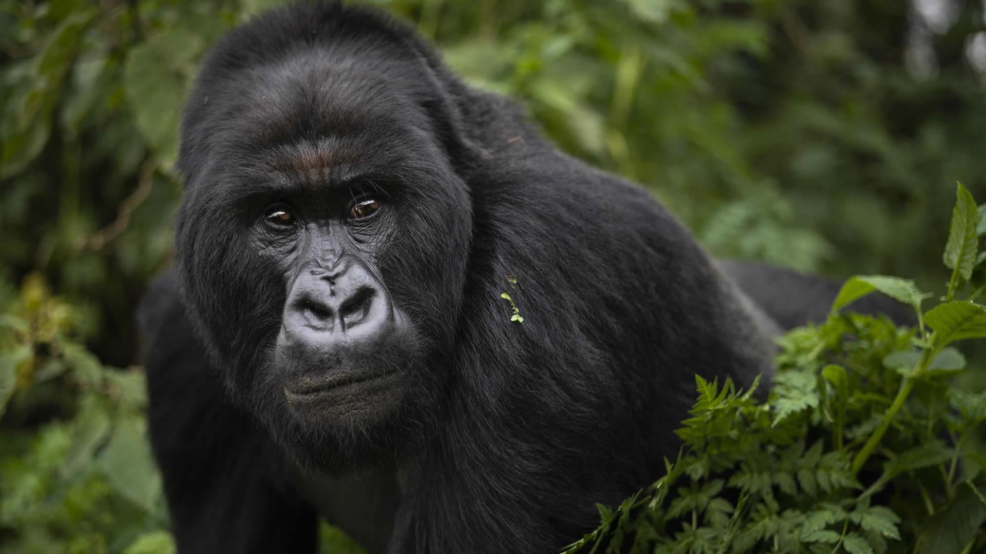 rwanda tours gorilla